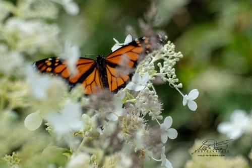 Papillon + hydrangée