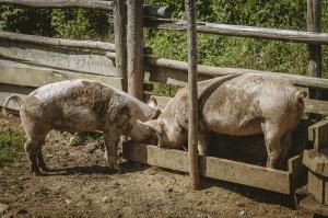 Cochon - Nouvelle-Écosse