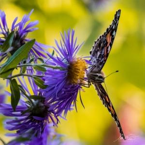 Papillon la Belle-Dame