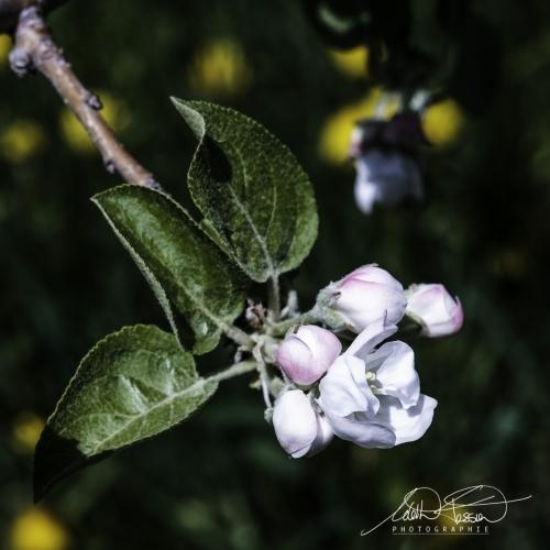 Floraison de pommiers